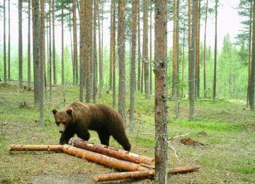 Bär©Schweden