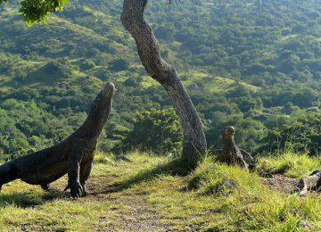 The Komodo dragons