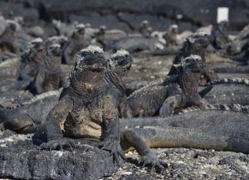 marine-iguana©big 15