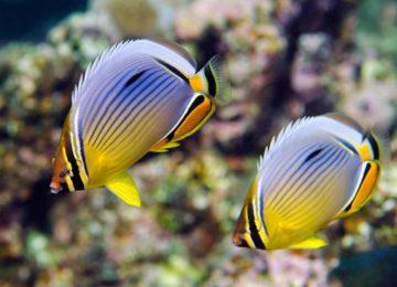 marinelife-butterfly-fish©Alphonse Island