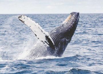 Whale Swimming Sea©Svart Hotel Norwegen